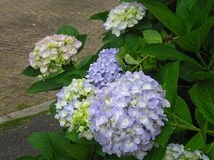 s-紫陽花の季節.jpg